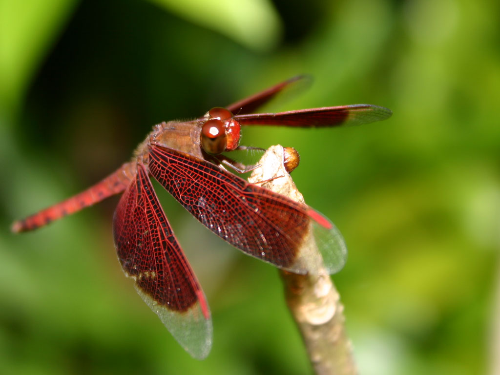 Dragonfly Macro Phot