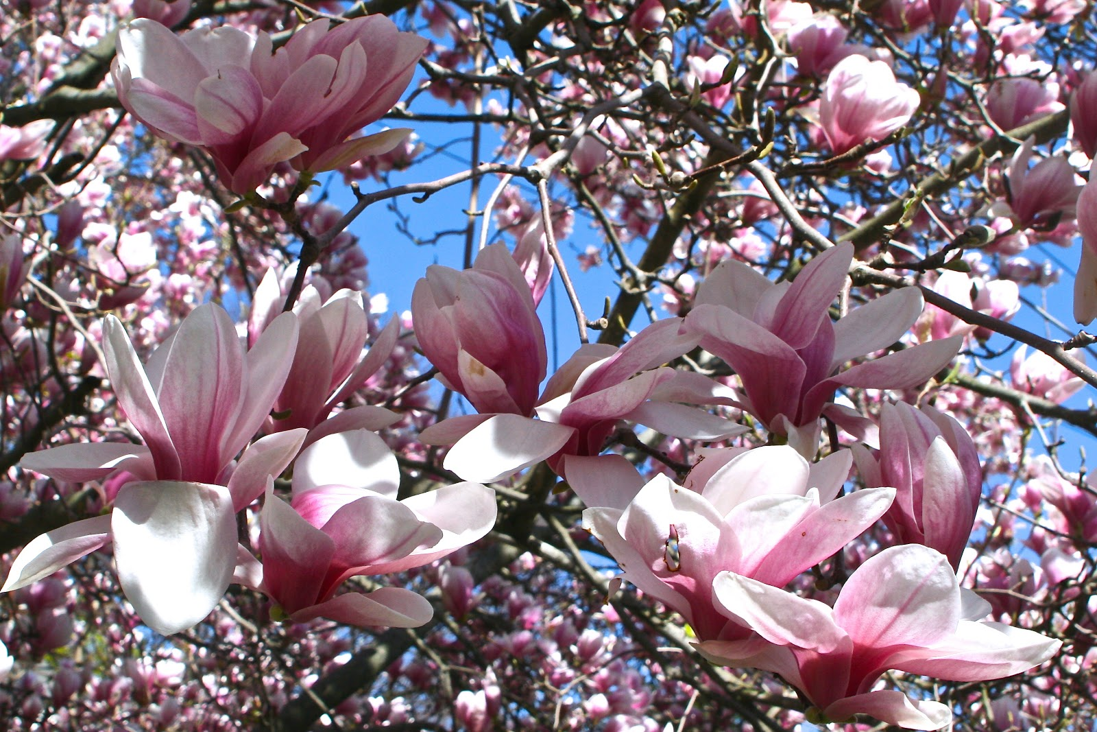 Reeds Garden Ramblings An Amazing Spring For Magnolias In New England