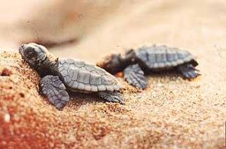 Προστασία της θαλάσσιας χελώνας απαιτεί η Ε.Ε. και για την Μεσσηνία