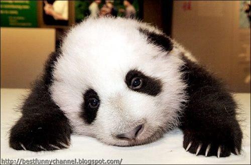Sweet panda.