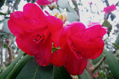 Elizabeth Rhododendron - The Ted & Mary Greig Rhododendron Garden
