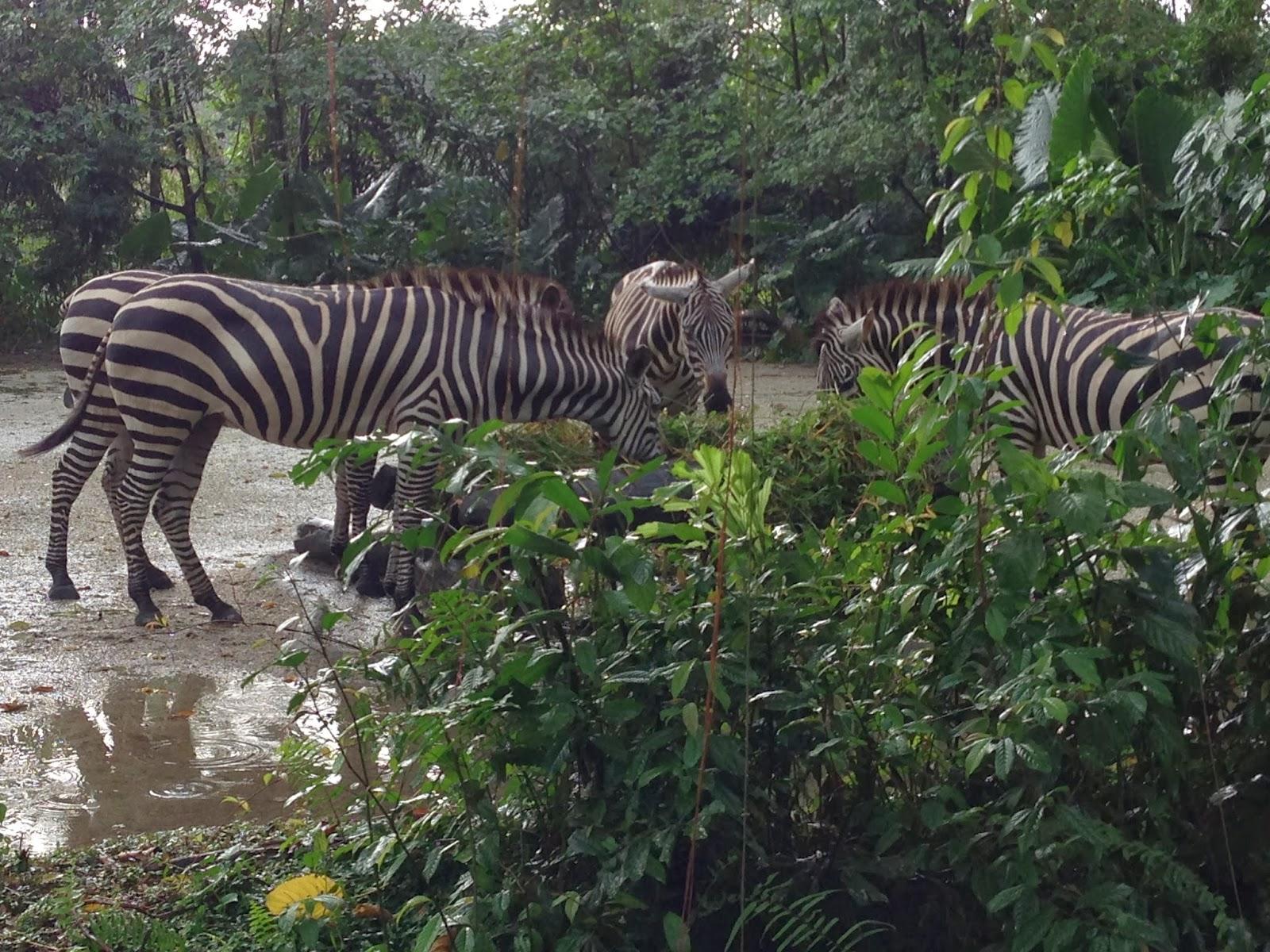 Singapore Zoo tickets-Singapore Zoo Night SAFARI-singapore ZOO review