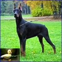 A adoção de uma pata por uma cachorra doberman.