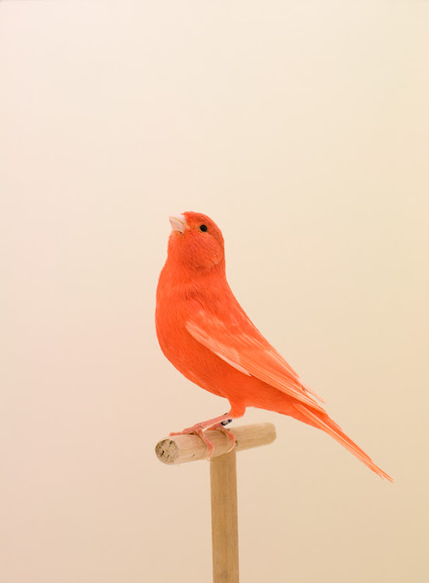 red bird in front of a light background