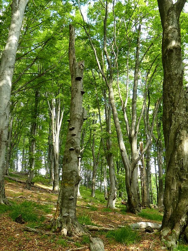 beech forest in Bulgaria, copyright Iordan Hristov