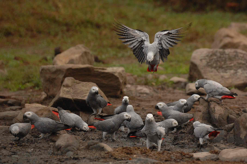 African Gray Parrots African Gray Parrots