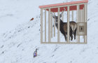 Wow Escape the Reindeer