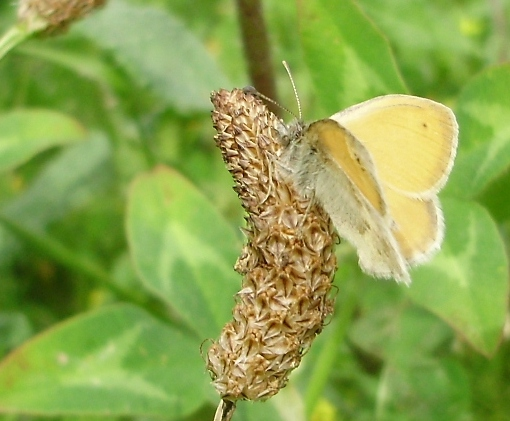 Anverso Coenonympha pamphillus