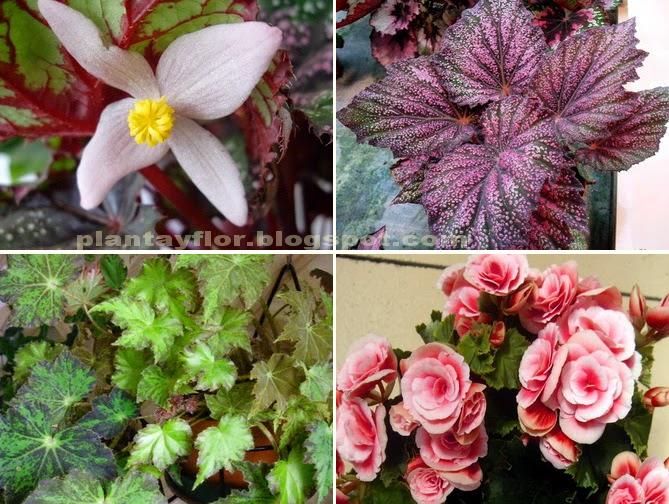 Plantas y flores cuidados de las begonias for Vivero mi planta