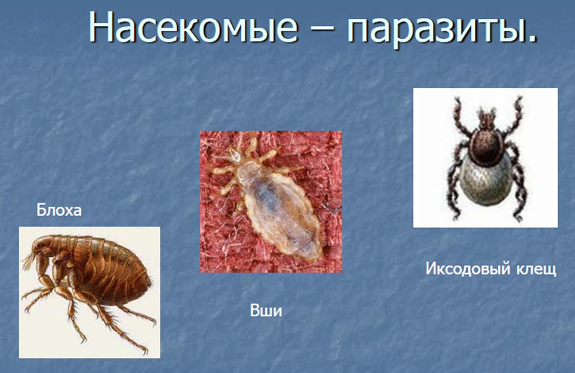 насекомые паразиты человека и животных видео