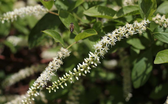Itea Virginica Flowers