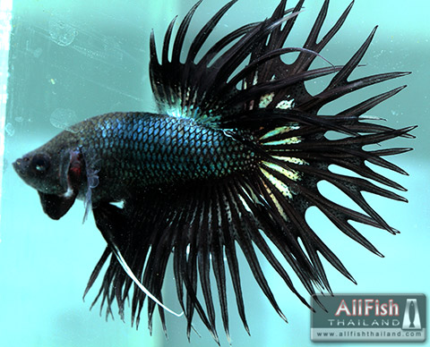 Allfish thailand crowntail betta show quality for Show me pictures of fish