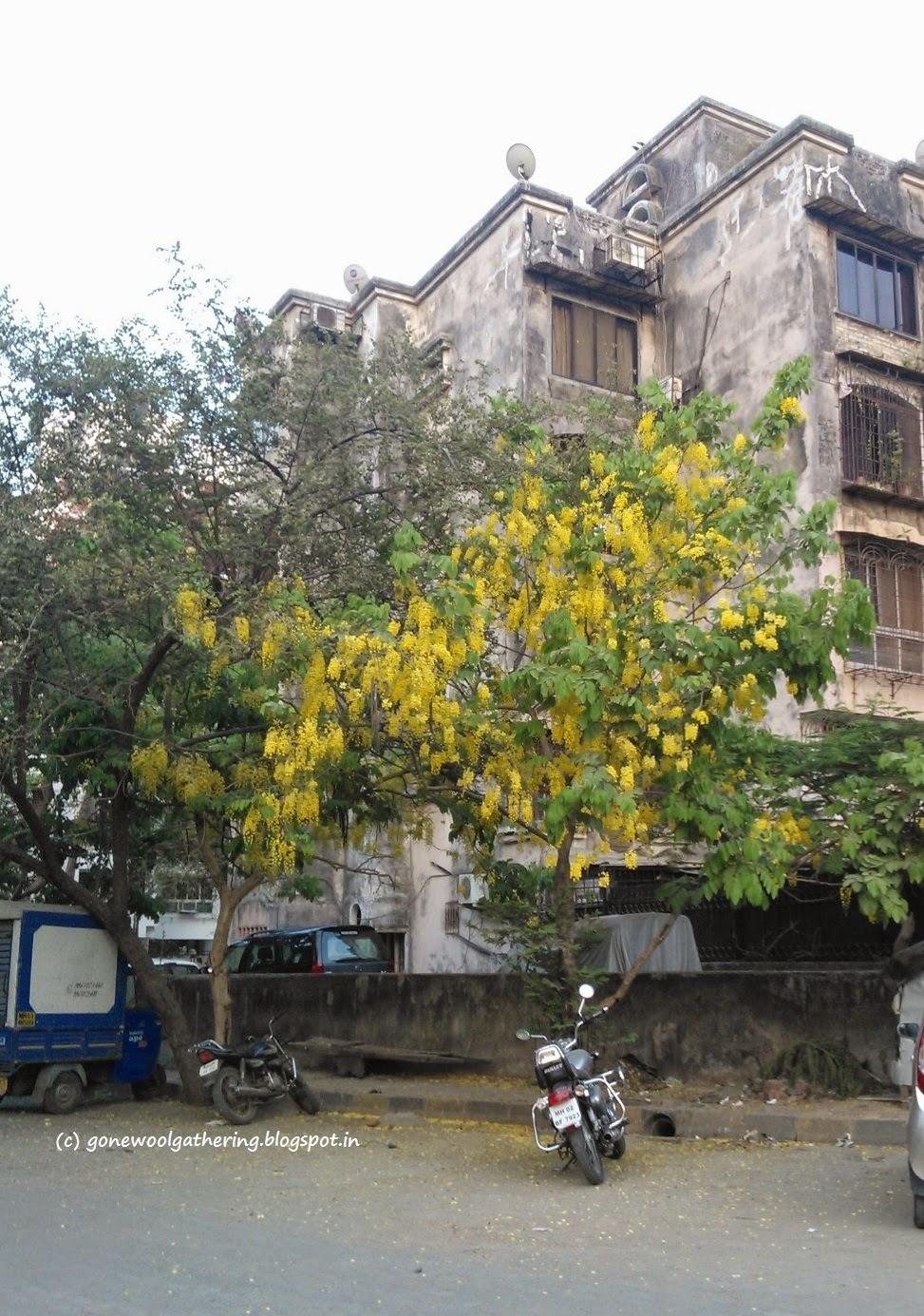 amaltas tree mumbai gonewoolgathering.blogspot.in