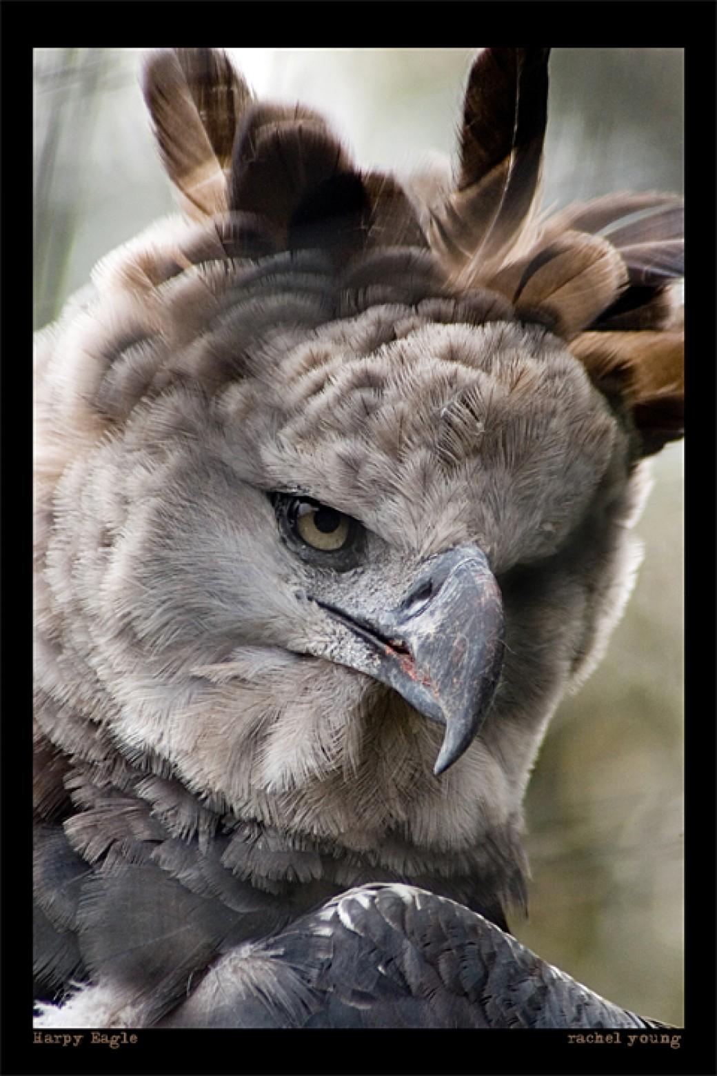 Harpy Eagle por rgphoto777