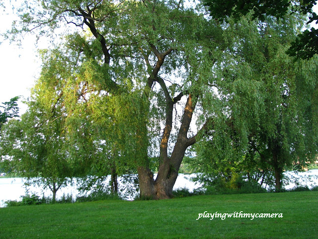 Playingwithmycamera Weeping Willow Trees