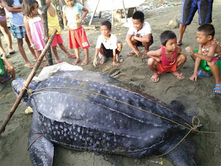 endangered Leatherback sea turtle photos