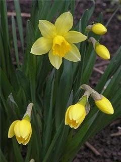 травы для усиления потенции | Нарцисс - лечебное использование, повышение потенции