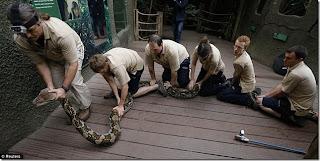 Periksa kesihatan Bali, ular sawa terpanjang