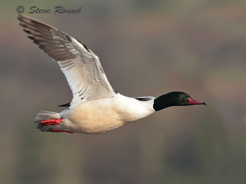 goosander, bird, duck, sawbill, nature, wildlife