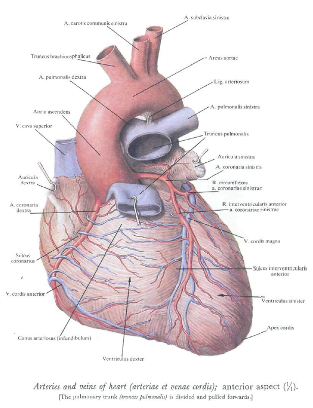 The Arteries of the Heart. The Vessels if the Heart. | Medicine ...