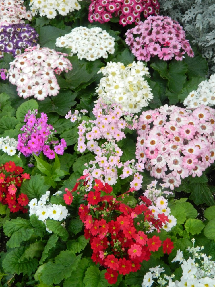 Primula malacoides and aculis at Allan Gardens Conservatory Spring Flower Show 2014