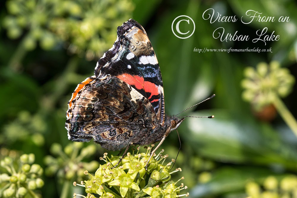 Red Admiral feeding on Ivy - Wolverton Mill, Milton Keynes