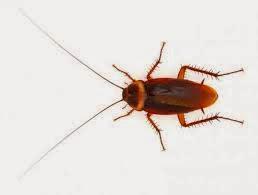 Serangan Kecoa Terbang dan 7 Fakta Menarik Seputar Kecoa