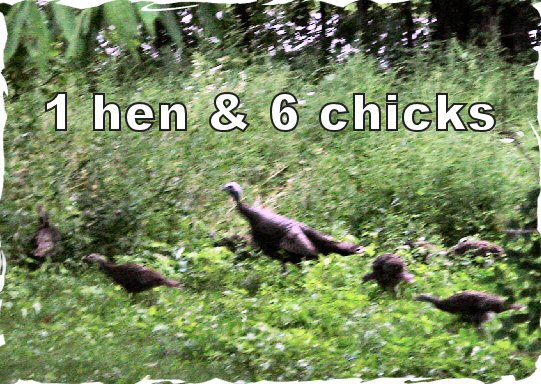wild turkey hen and many poults chicks