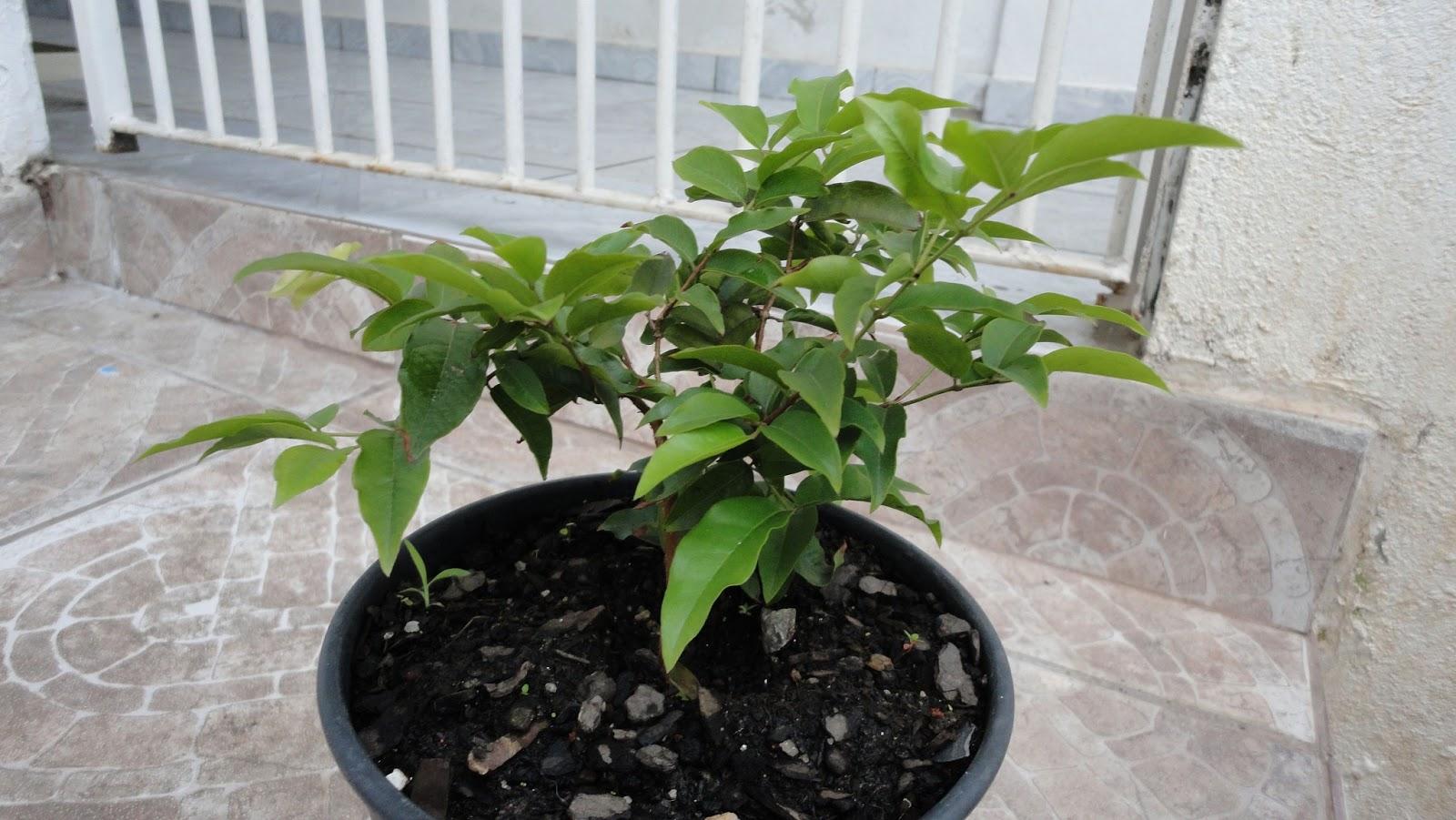Famosos Estratificando a Frio: Como germinar e plantar sementes de Jabuticaba YK04