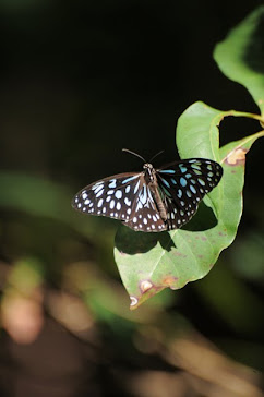 Blue Tiger Butterfly 2781