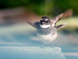 Burung Apa ? Burung Murai......Nak!!
