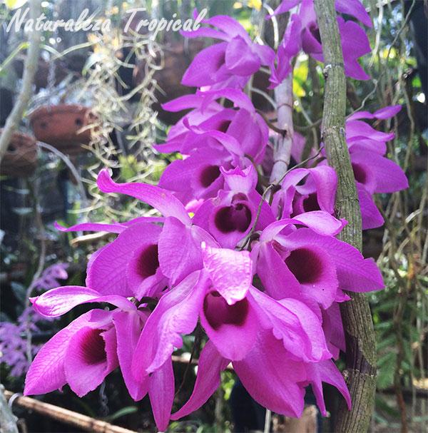 Flores de una orquídea del género Dendrobium