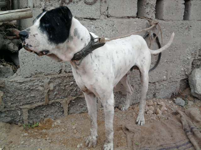Big Bully Dog 3 years Available ~ Dog For Sell Dogs Sell ...