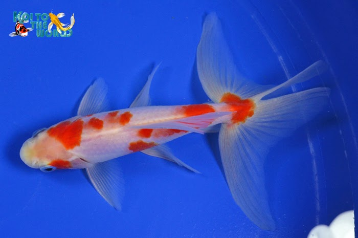 Koi to the world watonai goldfish for Goldfisch und koi