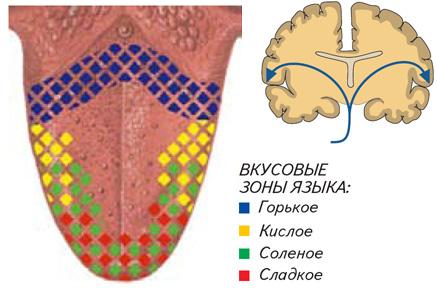 Язык схема вкусовых рецепторов