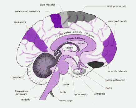 Funcion del tronco encefalico en el sistema nervioso central