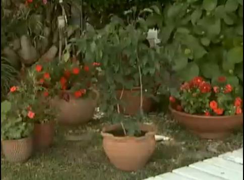 Dicas de jardinagem para ficus