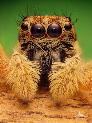 Salticidae, arañas, arañas saltadoras, saltícidos, arañas saltarinas, menemerus semilimbatus, Maratus volans, Myrmarachne plataleoides