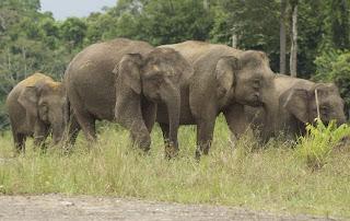 borneo elephant