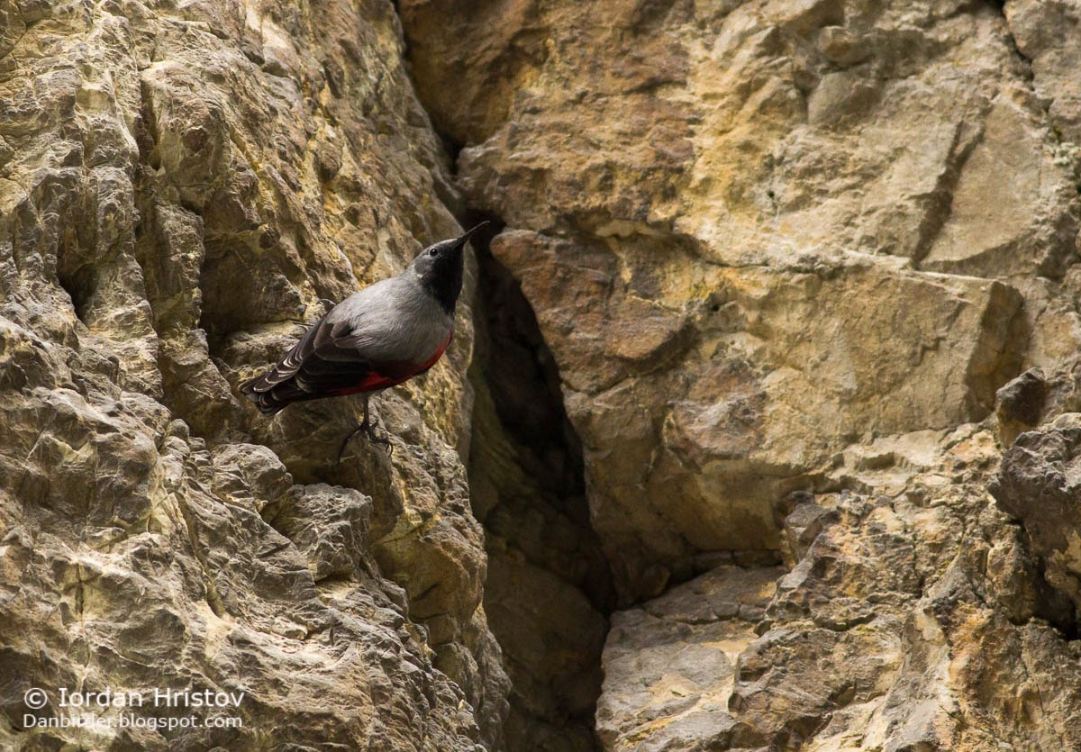 Wallcreeper photography in Bulgaria, copyright Iordan Hristov