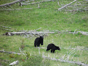 It has been a while since I actually saw a bear in Yellowstone Park.