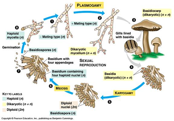 Siklus Basydiomycota