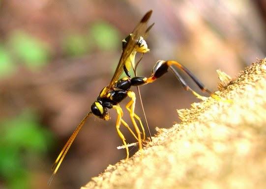 Ong-cu-Ichneumonidae_Wiki