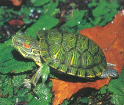 Pets Planet Food Brazilian Tortoise