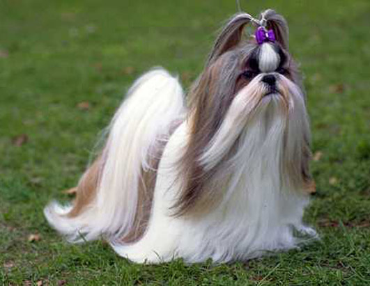 Funny Shih Tzu Puppies New Photos 2013  Pets Cute and Docile