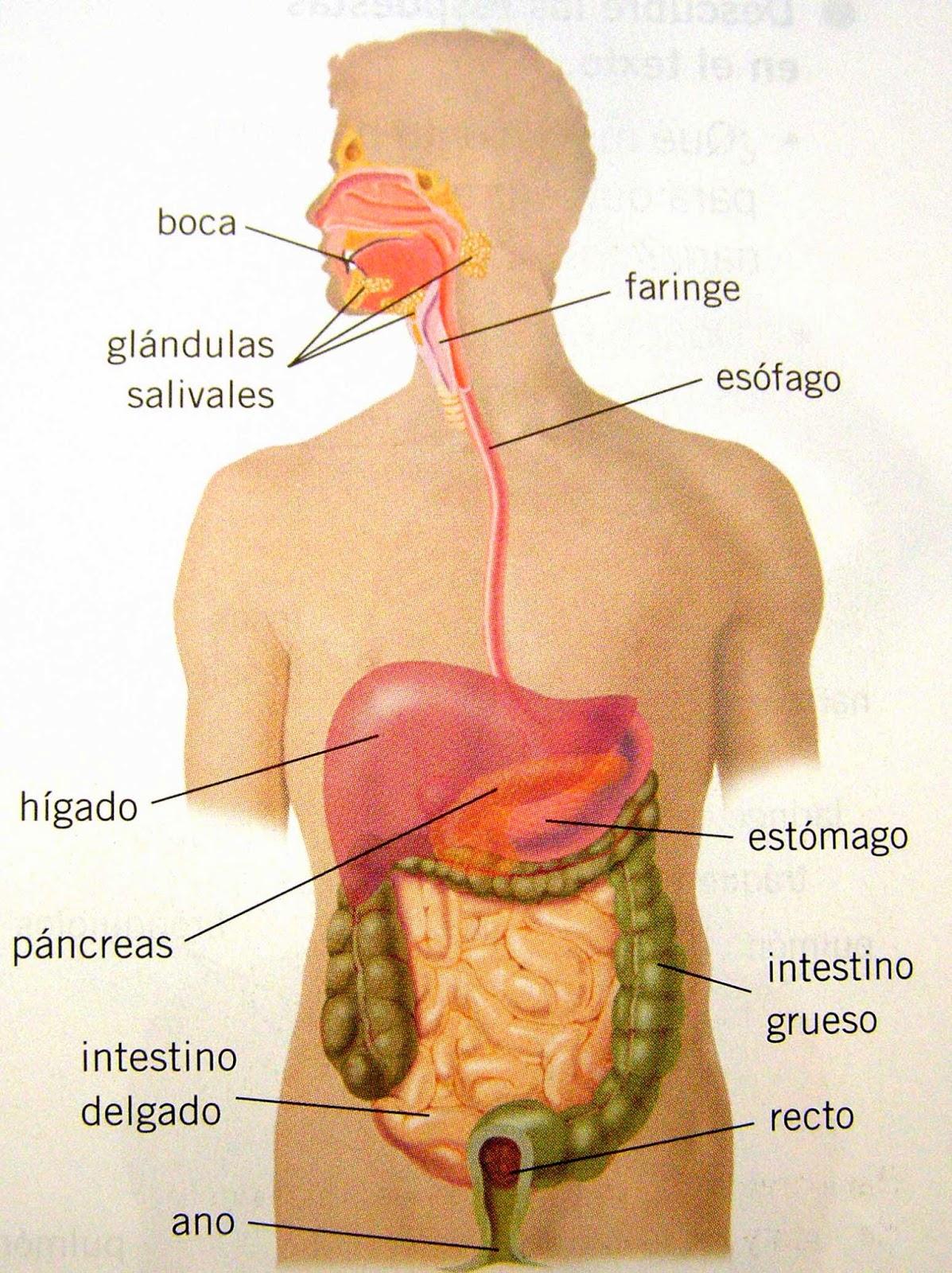 Anatomía humana y funcional.: Aparato digestivo