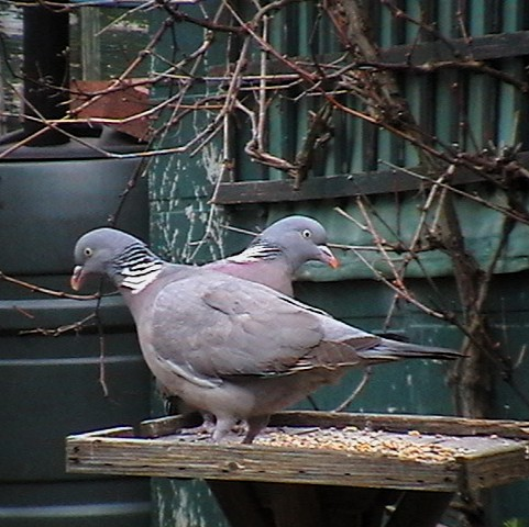 More Woodpigeon Pictures