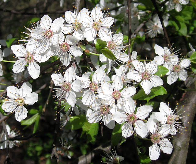 Cherry blossom at Keston Mark