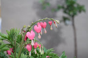 Description: Bleeding heart has attractive mounded foliage with arching .