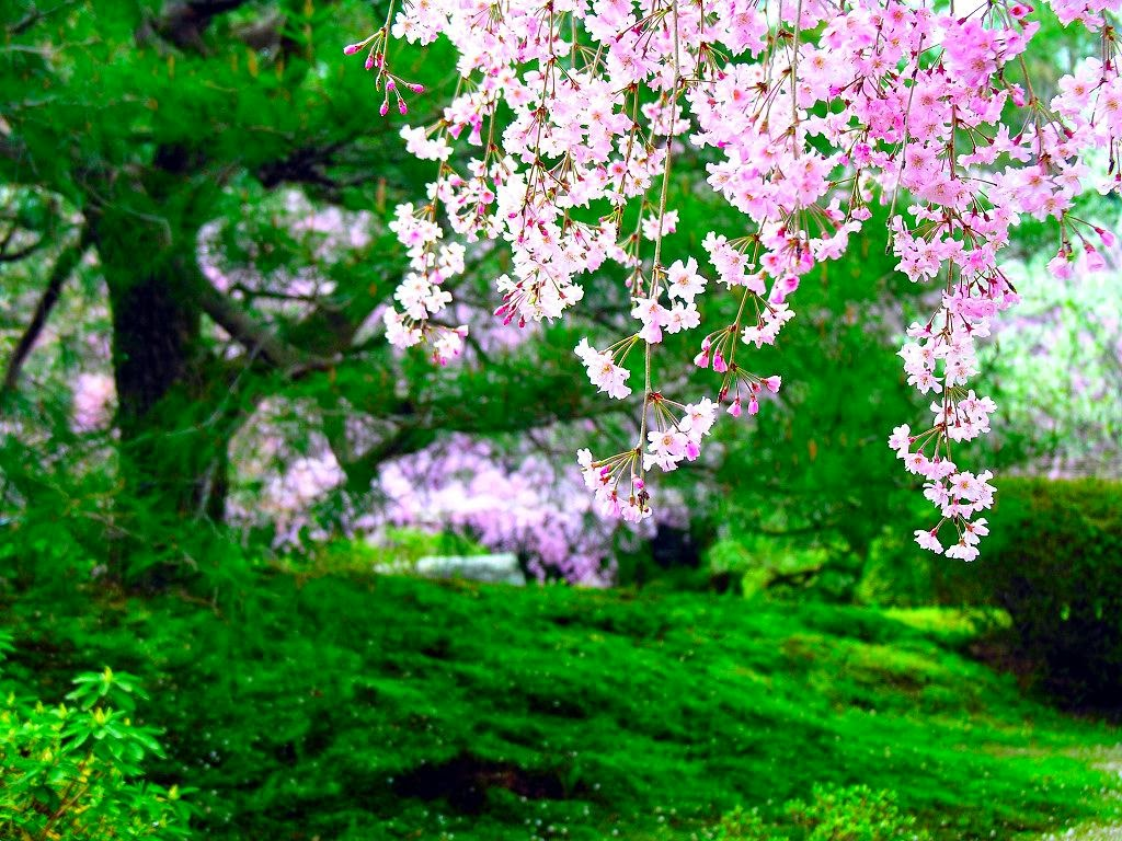 http://www.funmag.org/pictures-mag/flowers/cherry-blossom-wallpaper-16-photos/